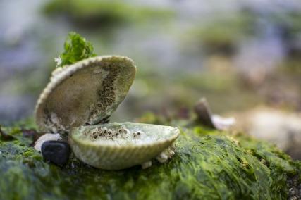 clam-2610321_1920