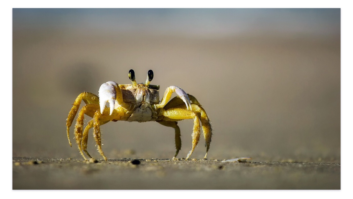 Happy crab on the beach
